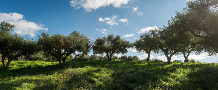an olive grove with greenery below the trees and a blue sky with a few clouds behind them