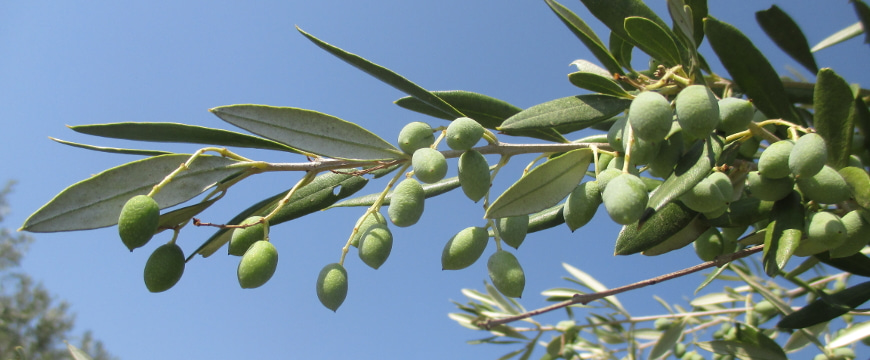 unripe green olives on a branch against a bright blue sky
