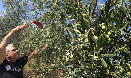 Ioannis Kampouris harvesting green olives with a rake