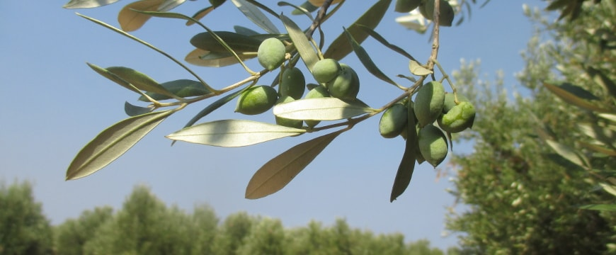 closeup of a branch with several green olives and bits of other trees in the olive grove in the background
