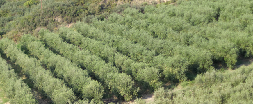 Many rows of olive trees in a regular pattern, viewed from a hill