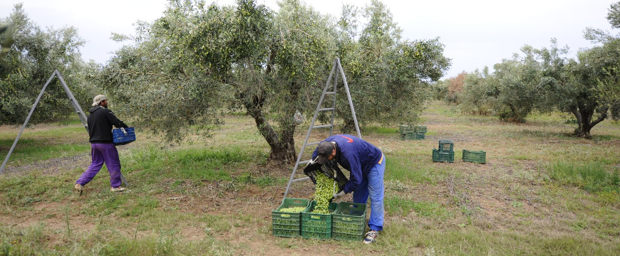 two harvesters working with crates of large green Chalkidiki olives in Yanni's Olive Grove