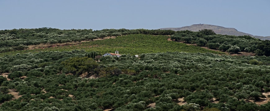 A view of olive groves and a small church