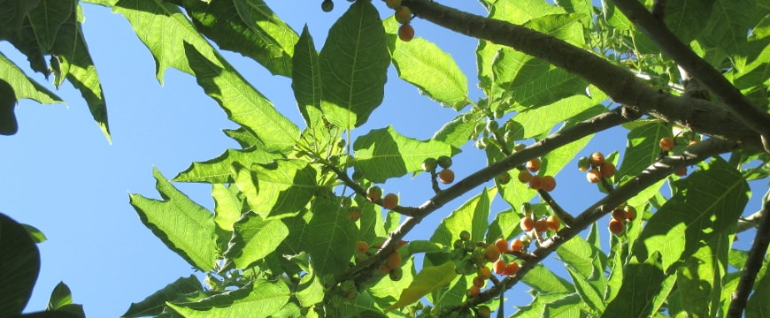 Tree leaves and small round fruits lit up by the sun, against a blue sky