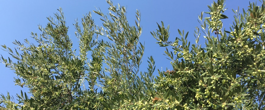 olive branches on trees full of green olives, blue sky in background