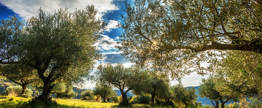Goutis Estate olive groves with sunlight, blue sky, and clouds visible through the olive trees