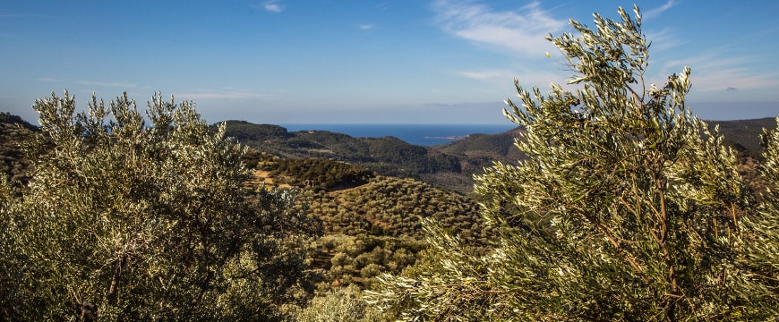 Olive groves, sea, and sky in Lesvos