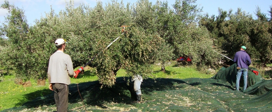 Harvesting olives with harvesters like long broomsticks and a net under the tree