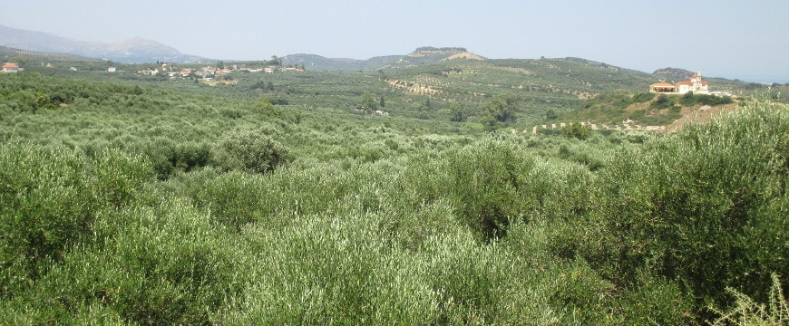 Olive groves in PDO Kolymvari, Crete