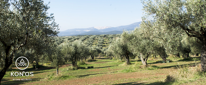 an olive grove, with rows of trees stretching away toward mountains in the distance, and the Konos logo in the lower left corner