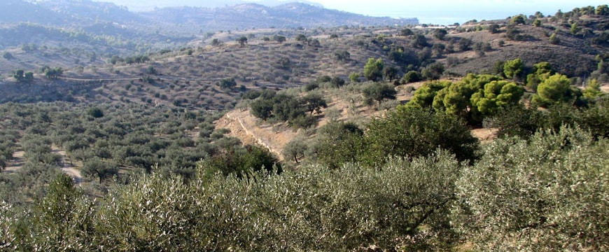Olea Groves landscape with olive groves, hills, and sea
