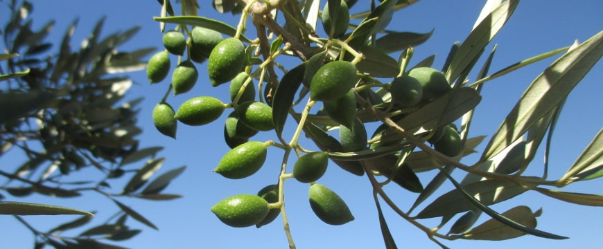 closeup of green olives on branches against a bright blue sky