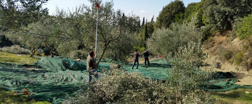 olive nets and people harvesting olives from olive trees in Messenia, Greece