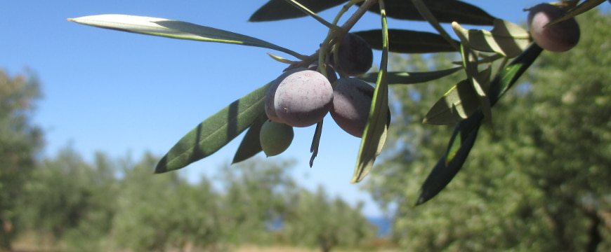 A few light purple olives handing from a branch in an olive grove