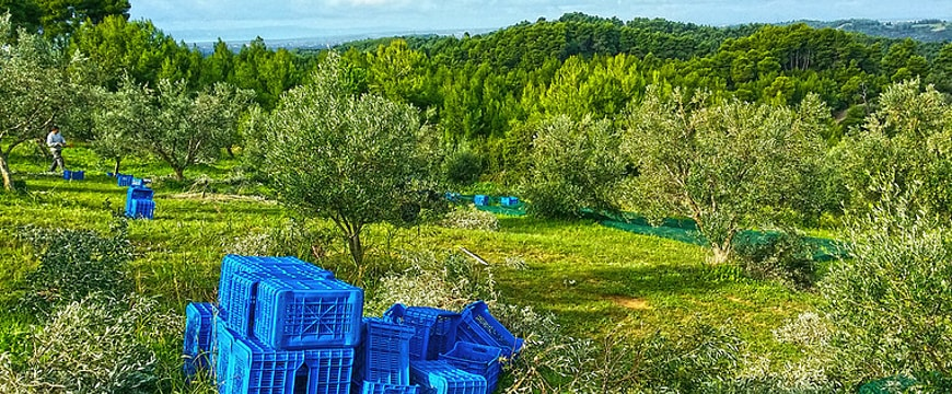 olive grove on a mountain with blue crates to fill with harvested olives