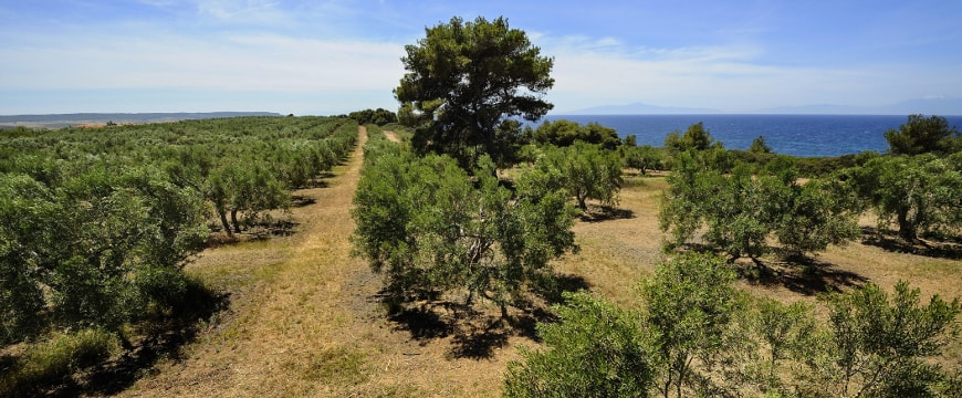 Greek olive groves, with one very tall tree in the middle, sky, and sea