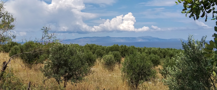an olive grove with the sea and puffy white clouds behind it