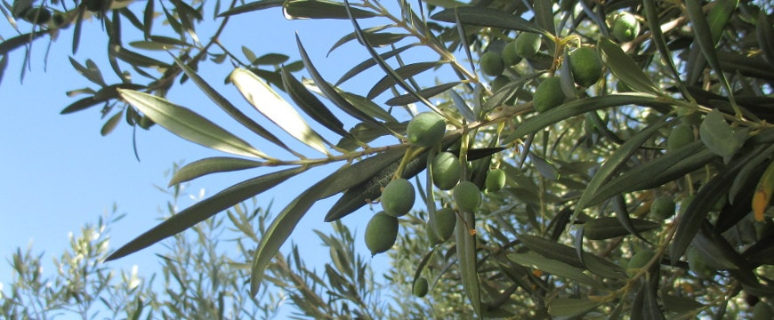 olives, leaves on a branch against a bright blue sky