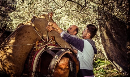 workers loading jute bags full of olives onto a mule