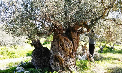 an ancient olive tree, with a man pruning it
