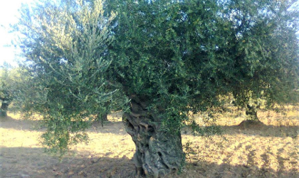an ancient olive tree from Laconia with a wide trunk and canopy of leaves