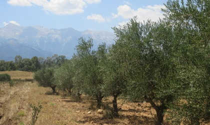 olive trees receding toward a mountain in Laconia