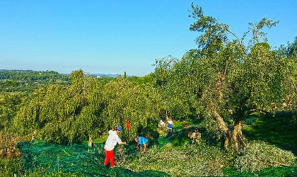olive trees full of olives with people and nets below them during harvest, a blue sky in the background