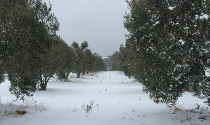 snowy olive grove in northern Greece