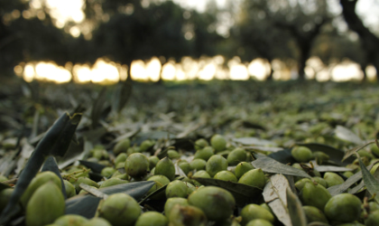 Mostly green olives on a net on the ground, with olive trees in the background