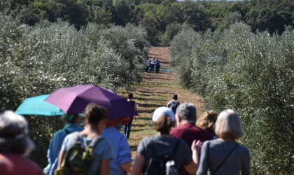 a group of visitors walking through an olive grove
