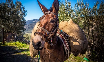 Donkey carrying bags of Acaia olives in Lesvos