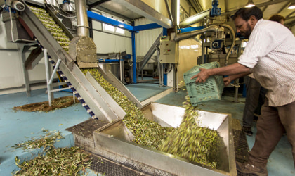 A man emptying a crate of olives into a hopper at a Cretan olive mill