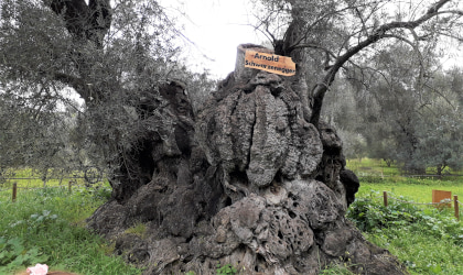 "the very wide, bulging, textured trunk of an ancient olive tree, with a small wooden sign that says ""Arnold Schwarzenegger"" tied around it"