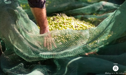 hand reaching into net full of harvested olives
