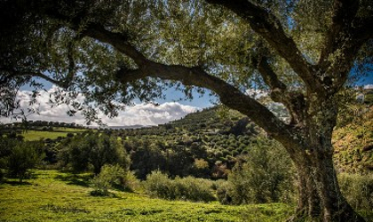 Looking under a large tree at a meadow, olive groves, a hill, and sky