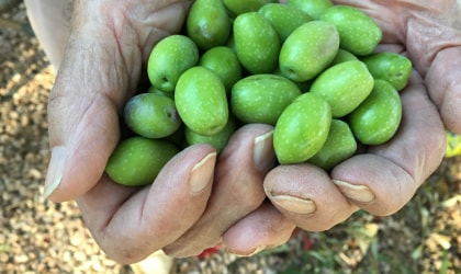fresh green olives held in two cupped hands
