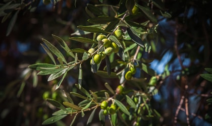 Unripe green olives growing on a branch in Lesvos