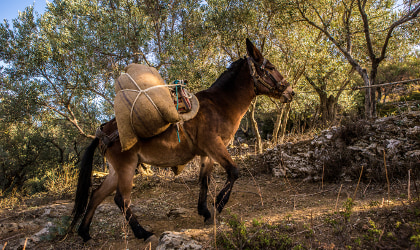 a donkey or mule carrying burlap bags full of harvested olives in a hilly olive grove