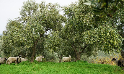 sheep in a grassy olive grove