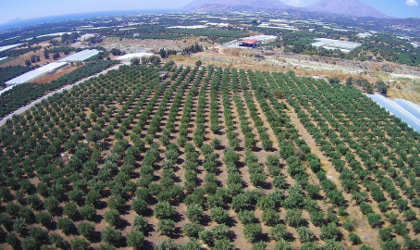 long rows of olive trees in the Kidonakis Bros.olive groves, viewed from a drone above the groves
