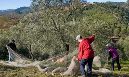 Three people harvesting olives with nets under a tree, hills in the background