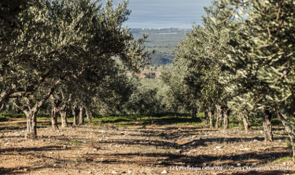an olive grove sloping downhill, with the sea in the distant background