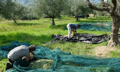 people sorting olives in nets under olive trees