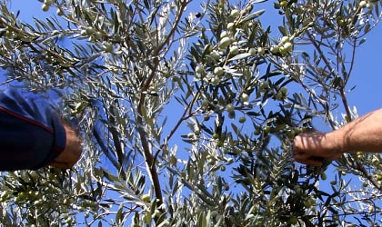 Hands plucking olives from trees, against a deep blue sky