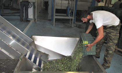 A man pouring olives from a crate into a hopper in a Greek olive mill
