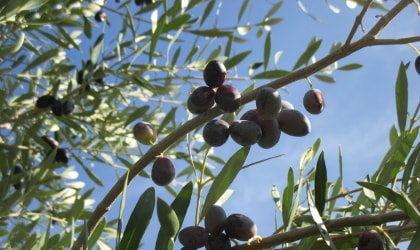 olives on branches, against blue sky