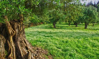 Olive grove with clover, with the wide trunk of an ancient olive tree on the left