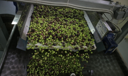 olives on a conveyor belt being washed in the olive mill
