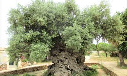 the ancient olive tree in Ano Vouves, Crete