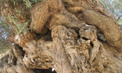 Detailed closeup of part of the trunk of the ancient olive tree in Vouves, Crete